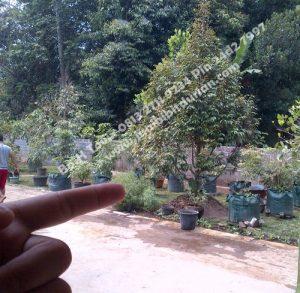 bibit durian bawor di halaman rumah, bibit durian bawor murah, Bp.H Tovix 0813 2711 9234, www.jualbibitdurian.com,