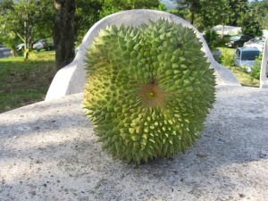 Durian Duri hitam 0813 2711 9234 www.jualbibitdurian.com