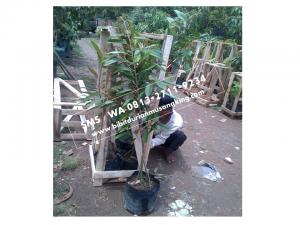 0813 2711 9234, Cara Budidaya Durian Musang King, Beli Durian Musang King, Bibit Durian Musang King Kaki Tiga