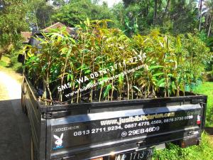 0813 2711 9234, Durian Musang King Jakarta, Jual Bibit Durian Musang King Di Bogor, Jual Bibit Durian Musang King Jakarta
