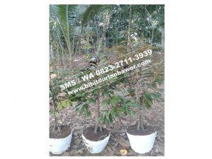 0823 -2711-3939, agar durian bawor cepat berbuah, bibit durian bawor 2 meter, bibit durian bawor aceh.