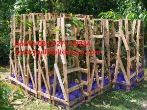 Bibit Durian Bawor Kaki 10, Bibit Durian Bawor Kaki 10