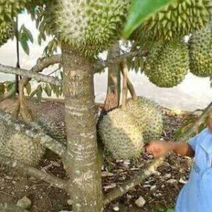 bibit durian bawor H tovix