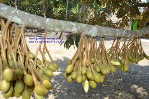 durian musang belajar bush