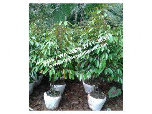 0813-2711-9234, Bibit Durian Bawor Pak Sarno, Bibit Durian Bawor Pak Sarno