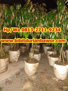 HpWa 0813-2711-9234, Bibit Durian Bawor Banyumas, Bibit Durian Bawor Berbuah.jpg