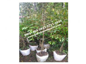 Wa 0813-2711-9234, Bibit Durian Bawor Kaki Ganda, Harga Bibit Durian Bawor 2018