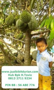 0813-2711-9234, Bibit Durian Bawor, Bibit Durian Bawor