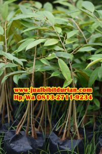 HpWa 0813-2711-9234, Durian Bawor Kaki 3, Bibit Durian Bawor, Sleman.jpg
