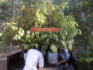 HpWa HpWa 0813-2711-9234, Jual Bibit Durian Jogja H. Tovix.JPG