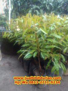 HpWa 0813-2711-9234, Jual Bibit Durian Bandung H. Tovix (4)