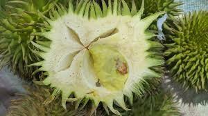 durian terutung 1