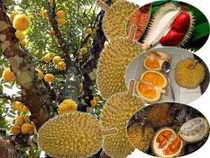 durian unik