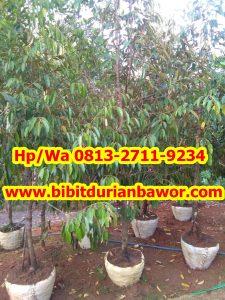 HpWa 0813-2711-9234, Bibit Durian Banyumas H (5)