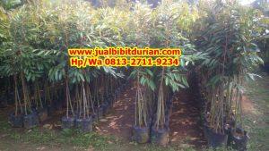 HpWa 0813-2711-9234, Bibit Durian Kaki 3 Jember H. Tovix