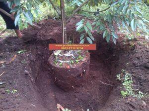 HpWa 0813-2711-9234, Bibit Durian Montong Blitar H. Tovix (3)