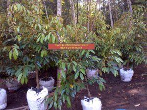 HpWa 0813-2711-9234, Bibit Durian Montong Blitar H. Tovix