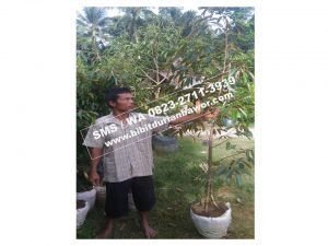HpWa 0813-2711-9234, Bibit Durian Unggul Banyuwangi H. Tovix (3)