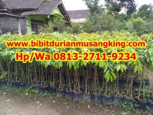 HpWa 0813-2711-9234, Bibit Durian Unggul Banyuwangi H. Tovix (4)