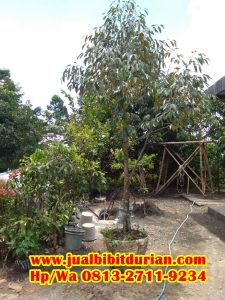 HpWa 0813-2711-9234, Jual Bibit Durian Bandung H. Tovix.JPG (2)