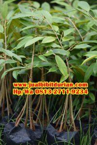 HpWa 0813-2711-9234, Jual Bibit Durian Bawor Kebumen H. Tovix (3)