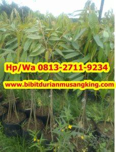 HpWa 0813-2711-9234, Jual Bibit Durian Musang King Lampung H. Tovix (5)