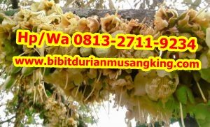 HpWa 0813-2711-9234, Jual Bibit Durian Musang King Lampung H. Tovix (7)