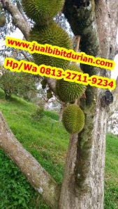 HpWa 0813-2711-9234, Jual Bibit Durian Namlung Sleman H. Tovix.jpf