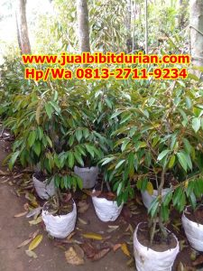 HpWa 0813-2711-9234, Jual Bibit Durian Solo H. Tovix (2)
