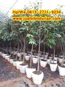 HpWa 0813-2711-9234. Jual Bibit Durian Musang King Magelang H. Tovix (4)