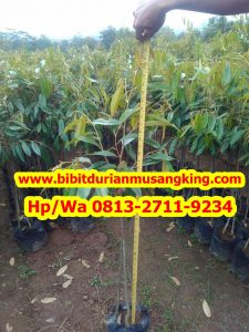 HpWa 0813-2711-9234. Jual Bibit Durian Musang King Magelang H. Tovix (5)