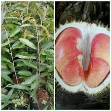 durian pelangi