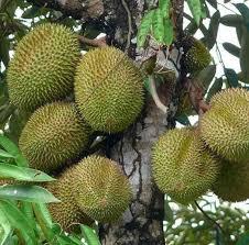 durian petruk