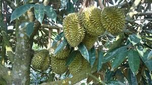 pohon durian namlung