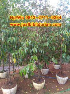 HPWA 0813-2711-9234, JUAL BIBIT DURIAN PALEMBANG H. TOVIX