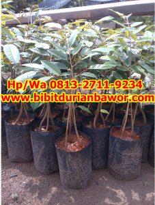 HpWa 0813-2711-9234, Bibit Durian Bawor Medan H. Tovix (2)