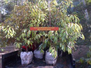 HpWa 0813-2711-9234, Bibit Durian Montong Blitar H. Tovix (2)