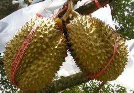 durian montong 3