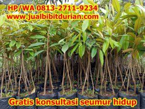 jual bibit durian 17-min