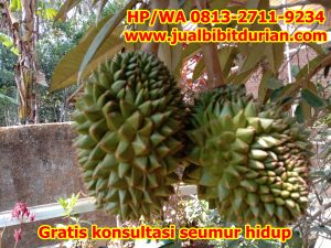 jual bibit durian 34-min
