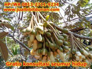 jual bibit durian 41-min