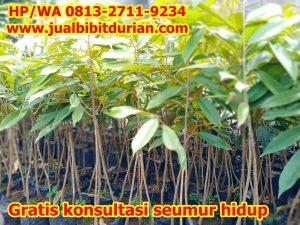 jual bibit durian 7-min (1)